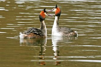 Great Crested Grebe cpt John Smith