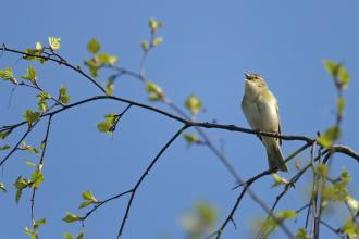 Willow Warbler (c) Chris Gomersall 2020Vision