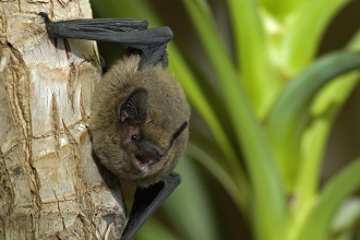 Common pipistrelle bat cpt Sue Charlton