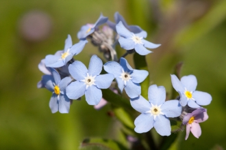 Wood Forget-Me-Not at Kimberley Cutting Nature Reserve NottsWT cpt Al Greer