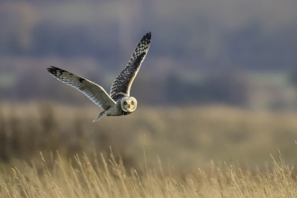 Short Eared Owl Mike Vickers