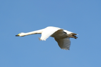 Whooper Swan in Flight - Mike Vickers