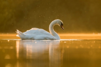 Mute Swan at dusk by Steven Fairbrother