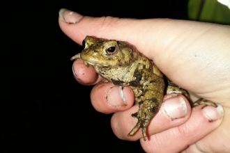 Keeping it Wild helping toads cross the road in Strelley