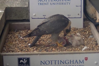 three peregrine chicks being fed