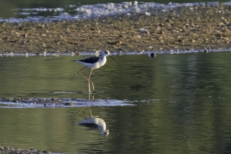 Black Winged Stilt at Idle Valley