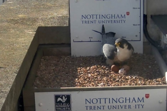 Three peregrine eggs in nest