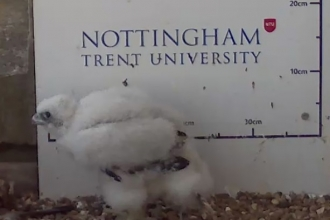 adult feathers showing on peregrine falcon chick