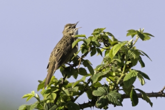 Grasshopper Warbler at Idle Valley