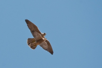 recently fledged juvenile peregrine falcons (Falco peregrinus) flying close together, central london, spring.