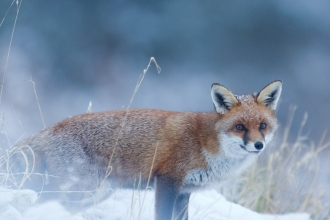 Red Fox (Vulpes vulpes) Vixen in the Snow during winter, Cannock Chase, Staffordshire - Danny Green/2020VISION