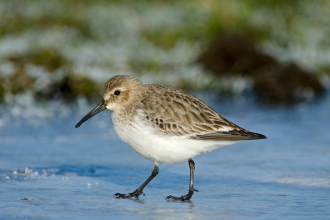 Dunlin Calidris alpina on iced over pool at Snettisham on The Wash Norfolk winter