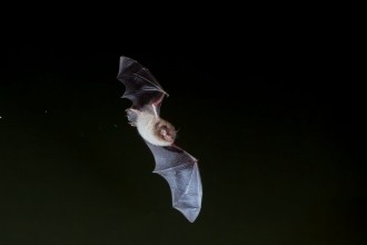 Daubenton's Bat, myotis daubentoni, adult, flying over water