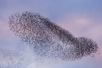 A murmuration of starlings (Sturnus vulgaris) coming in to roost at Shapwick, Somerset Levels, Somerset, England, UK - Guy Edwardes/2020VISION