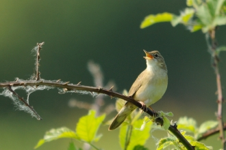 Grasshopper warbler singing