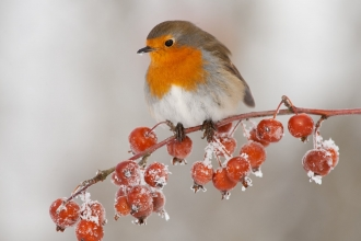 Robin (Erithacus rubecula) adult perched on crab apples in winter, Scotland, UK - Mark Hamblin/2020VISION