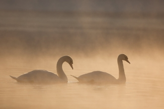 Mute swan pair (Cygnus olor) in winter dawn mist, Loch Insh, Scotland