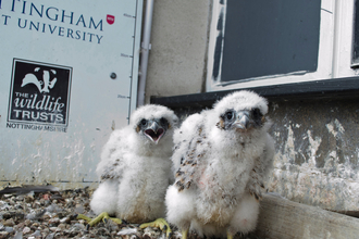 Peregrine chicks (NTU)