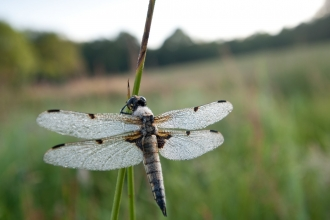 Four-spotted chaser {Libellula quadrimaculata} dragonfly, dew covered, early morning light, Denmark Farm, Lampeter, Wales, UK. June 2011. - Ross Hoddinott/2020VISION