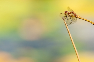 Common darter dragonfly {Sympetrum striolatum}, resting on reed by water's edge, Little Bradley Ponds, Bovey Tracy, Devon, UK. July 2011. - Ross Hoddinott/2020VISION