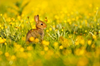 Rabbit in buttercups