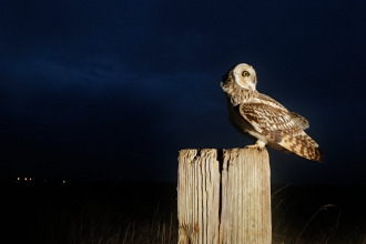 Short-eared owl (Asio flammeus) perched in conservation margin at edge of arable crop. Wallasea Wild Coast project, Essex. Camera trap photograph.