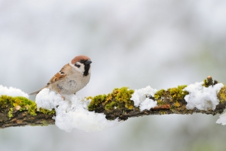 Tree sparrow in snow