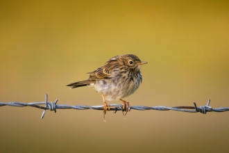 Meadow Pipit (Anthus pratensis), Malham Tarn, Yorkshire Dales National Park