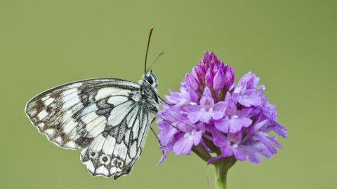 Marbled White on Pyramidal Orchid