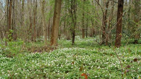 Wood Anemones Dyscarr Wood cpt NottsWT