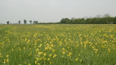 Ashton's Meadow Cowslips cpt C Langtree