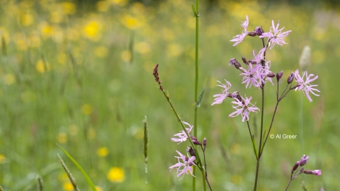 Ragged Robin Chilwell Meadow cpt Al Greer