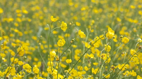 Meadow Buttercups, Chilwell Meadow cpt Al Greer