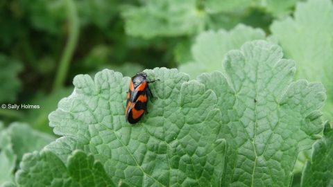 Red and Black Froghopper Cercopis Vulnerata Strawberry Hill Heath Notts WT cpt Sally Holmes