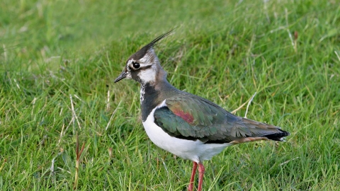 Lapwing (1) NottsWT cpt John Smith