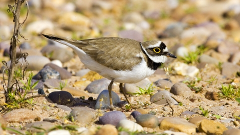 Little Ringed Plover NottsWT cpt John Smith
