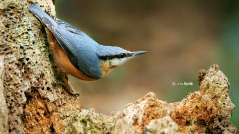 NUTHATCH (2) NottsWt cpt John Smith.