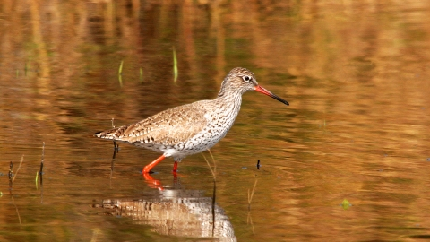 Redshank (1) NottsWT cpt John Smith