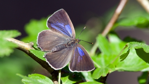 238 Purple Hairstreak Notts WT cpt Don Sutherland