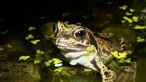 Common frog Notts WT cpt Margaret Holland