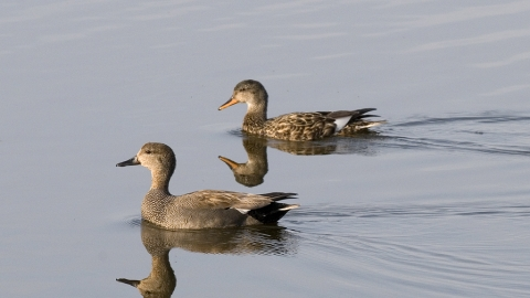 Gadwall male and female Notts WT cpt Mike Vickers