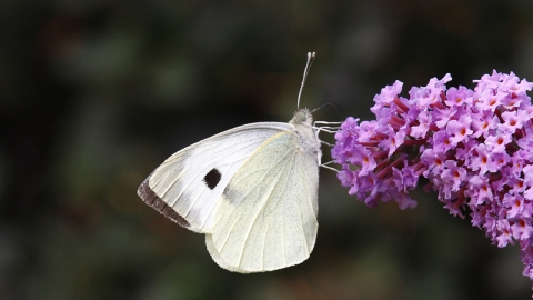 Large white butterfly NottsWT cpt Sean Browne