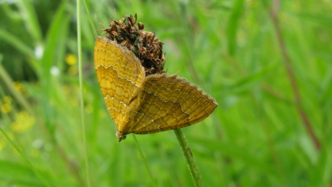 Yellow shell moth West Burton NottsWT cpt Viv Hayes