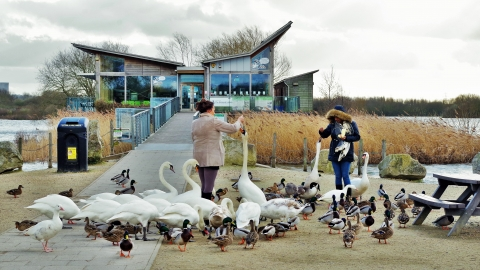 Feeding swans outside Attenborough Nature Centre