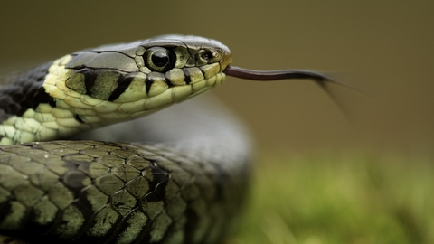 Grass Snake (Natrix natrix) basking in the spring, Cannock Chase, Staffordshire