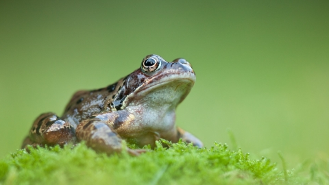 Common frog (Rana temporaria), Catcott Lows, Somerset Levels, Somerset, England, UK