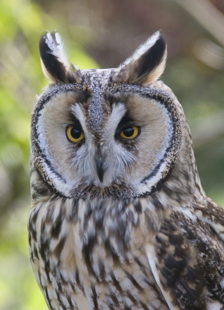 Long-eared Owl NottsWT cpt Darin Smith