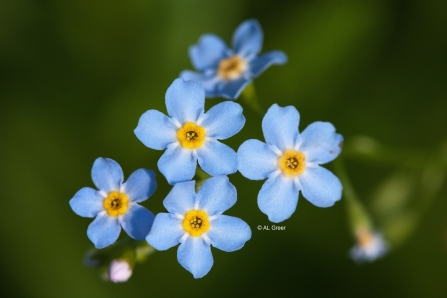 Forget Me Not Wilwell Farm Cutting cpt Al Greer