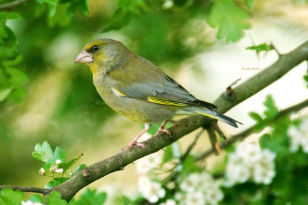 Greenfinch (1) NottsWT cpt John Smith