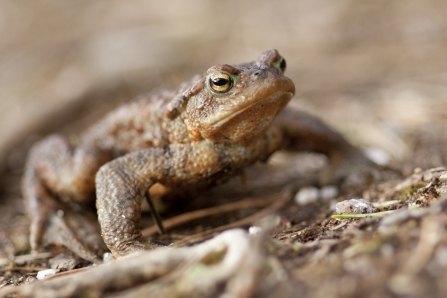 Common Toad Notts WT cpt Tom Marshall